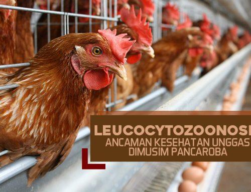 Waspada! Ayam Umur Muda Rentan Terhadap Penyakit Ini