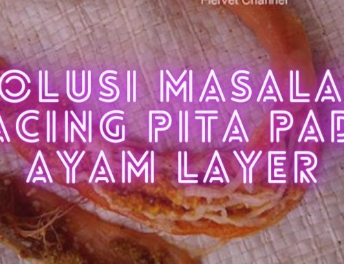 SOLUSI MASALAH CACING PITA PADA AYAM LAYER