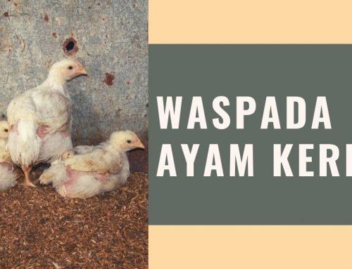 WASPADA AYAM KERDIL
