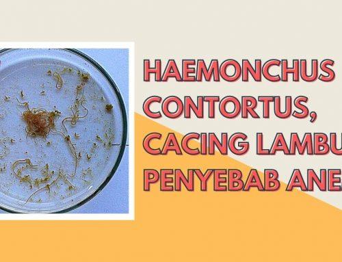 HAEMONCHUS CONTORTUS, CACING LAMBUNG PENYEBAB ANEMIA