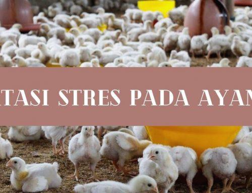 ATASI STRES PADA AYAM