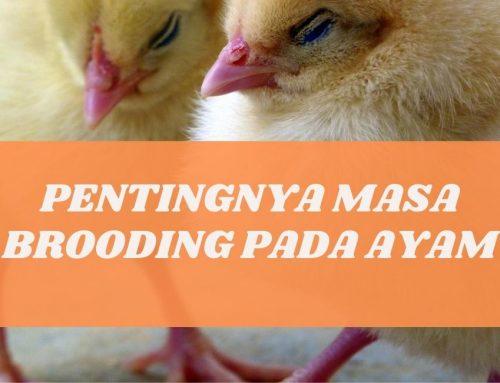 PENTINGNYA MASA BROODING PADA AYAM